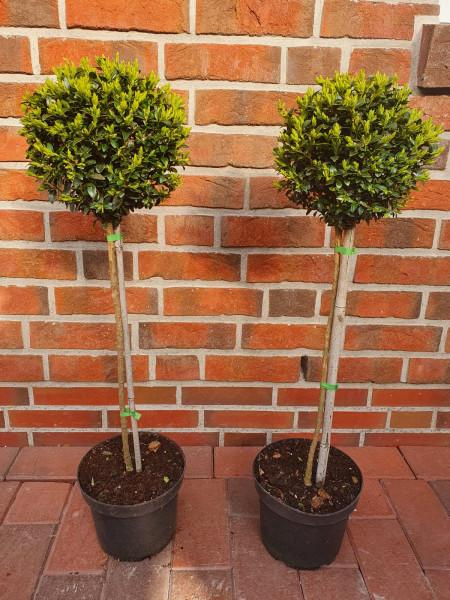 Buchsbaum-Stamm (Höhe: 90 cm) - Buxus sempervirens