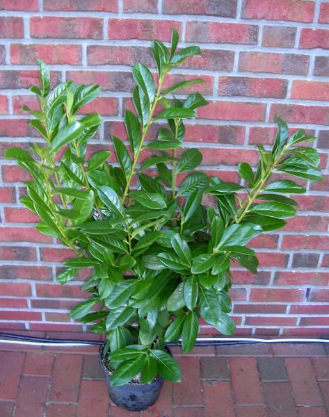Kirschlorbeer - Prunus laurocerasus Novita - Höhe: 80-100 cm