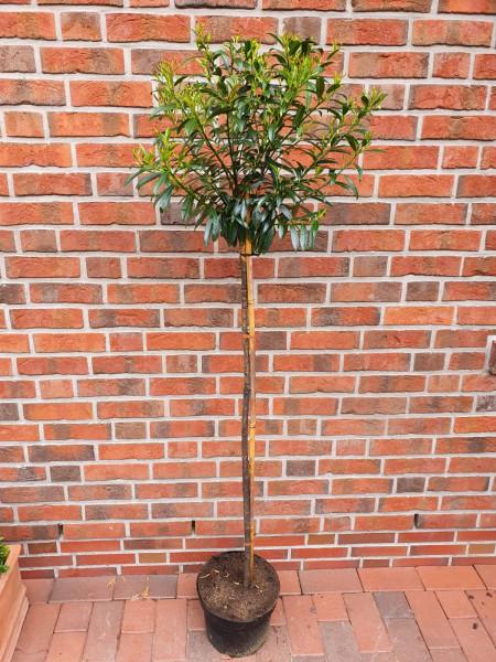 Kirschlorbeer Stämmchen, Prunus laurocerasus 'Sofia' - Höhe: 170-180 cm