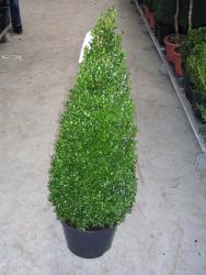Buchsbaum - Kegel, Buxus sempervirens, Höhe: 90 cm