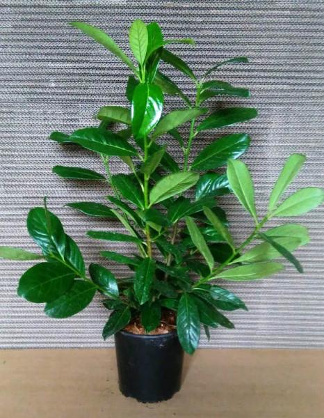 Kirschlorbeer (Höhe: 60-70 cm - Topfvolumen: 3 Liter) - Prunus laurocerasus Novita