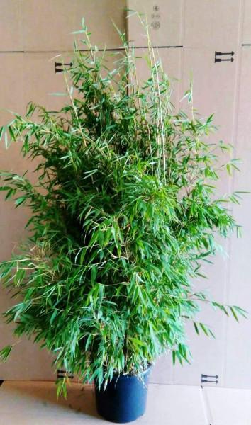 Fargesia murielae 'Jumbo' - Gartenbambus - Schirmbambus (Höhe: 160-170 cm)