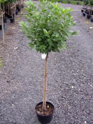 Kugelkirsche-Stämmchen - Prunus fruticosa Globosa