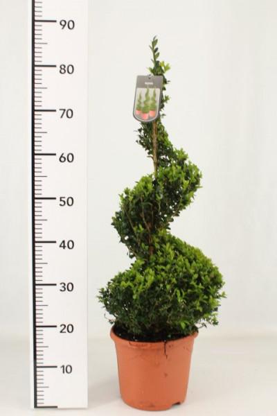 Buchsbaum - Spirale, Buxus sempervirens, Höhe: 90-100 cm