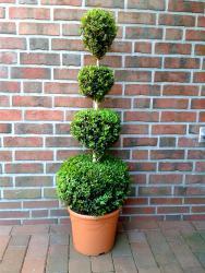 Buchsbaum - 4er Kugel, Buxus sempervirens