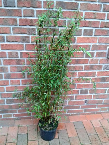 Fargesia Jiuzhaigou Genf (Höhe: 110-120 cm), Roter Bambus, Jadebambus