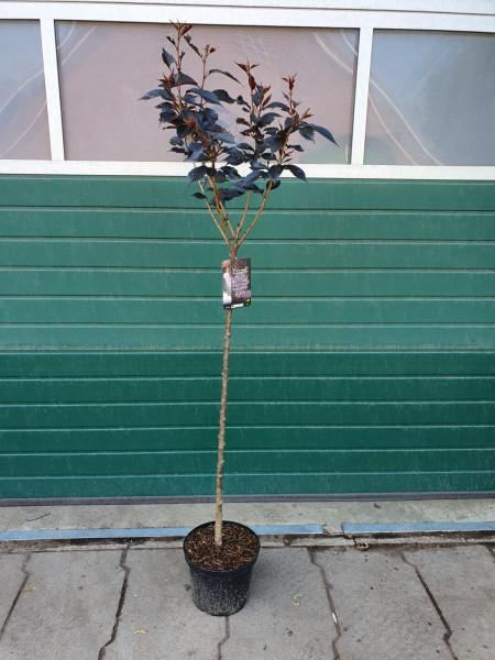 Japanische Nelkenkirsche - Prunus serrulata Royal Burgundy auf Stamm, Höhe: 180-190 cm