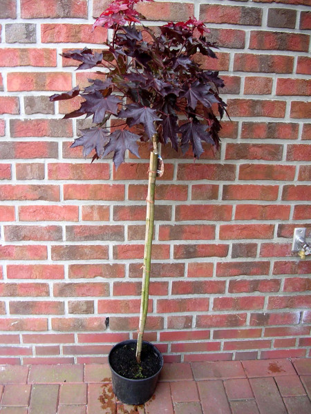 Blutahorn, Acer Crimson Sentry, Ahorn, Stämmchen, Höhe: 250 cm (Stammhöhe: 180 cm)