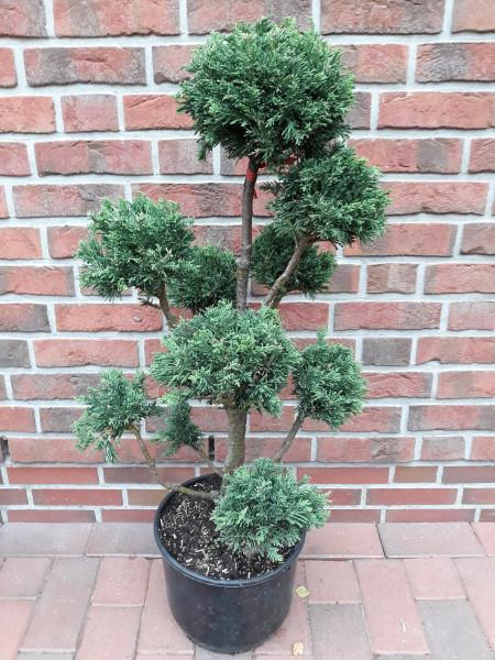Chamaecyparis obtusa 'Drath' (Höhe: 90-100 cm), Gartenbonsai, Formpflanze