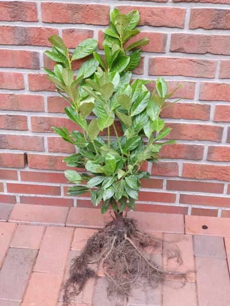 Kirschlorbeer Novita (Höhe: 60-70 cm - wurzelnackt) - Prunus laurocerasus Novita, Heckenpflanzen