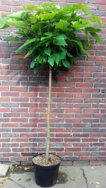 Kugel-Trompetenbaum auf Stamm, Catalpa bignonioides Nana, Höhe: 180-190 cm (Stammhöhe: 120 cm)