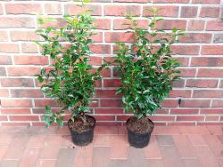 Lorbeerkirsche - Prunus lusitanica Angustifolia (Höhe: 60-70 cm)