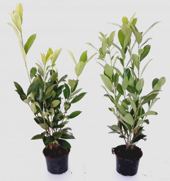 Prunus laurocerasus 'Caucasica' (Höhe: 50-60 cm / 1,3 Liter Topf) - großblättriger Kirschlorbeer