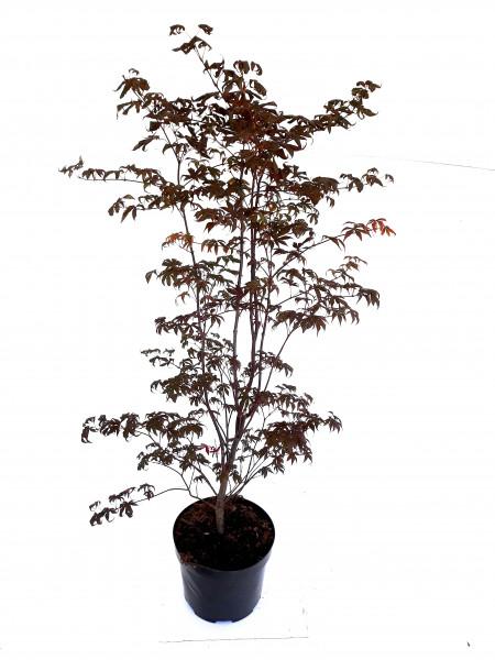 Japanischer Fächerahorn, Acer palmatum 'Skeeters Broom' (Höhe: 130-140 cm)
