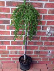Cotoneaster congestus - Stamm, Zwergmispel, Höhe: 120 cm