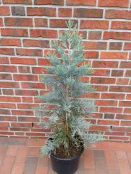 Mammutbaum (Höhe: 90-100 cm), Sequoiadendron giganteum Glaucum, immergrün