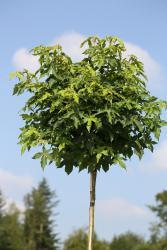 Amberbaum, Liquidambar styraciflua Gumball, Höhe: 180-190 cm