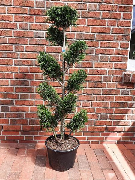 Leyland-Zypresse, Gartenbonsai (Höhe: 140-150 cm), Cupressocyparis leylandii