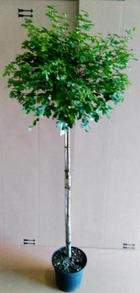 Kugelahorn, Stämmchen / Acer campestre Nanum / Gesamthöhe: 180-190 cm