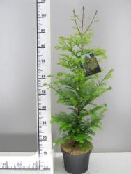 Mammutbaum - Metasequoia glyptostroboides - Höhe: 110-120 cm