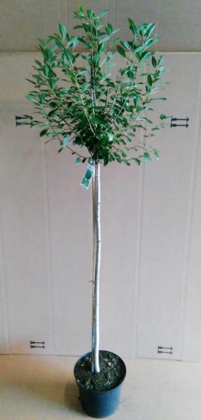 Kugelkirsche-Stämmchen - Prunus fruticosa Globosa - Höhe: 250 cm (Stammhöhe: 180 cm)