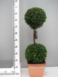 Buchsbaum - 2er Kugel, Buxus sempervirens (Höhe: 110-120 cm)