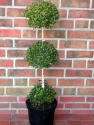 Buchsbaum - 3er Kugel, Buxus sempervirens
