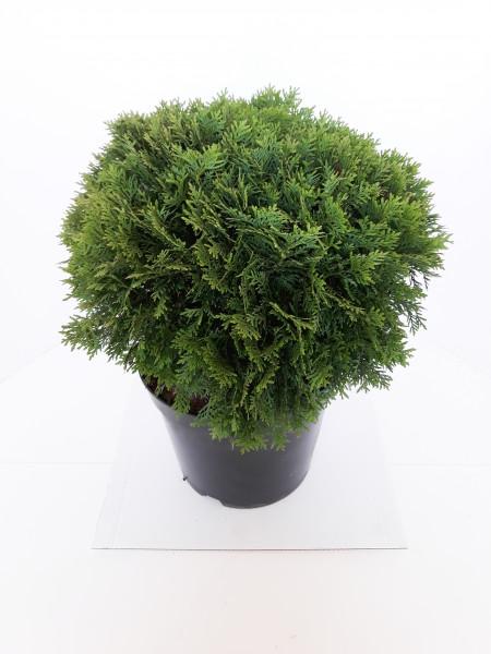 Zwergiger Kugel-Lebensbaum 'Danica' - Thuja occidentalis Danica - Durchmesser: 35-40 cm