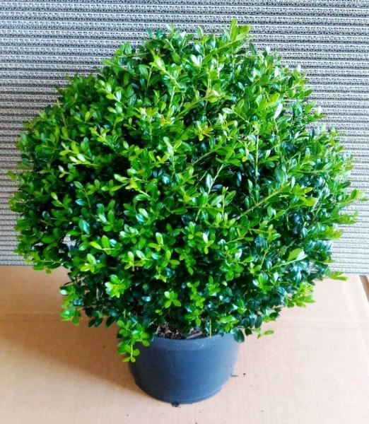 Ilex - Kugel, Ilex crenata Stokes, Alternative zum Buchsbaum, Durchmesser: 30-35 cm