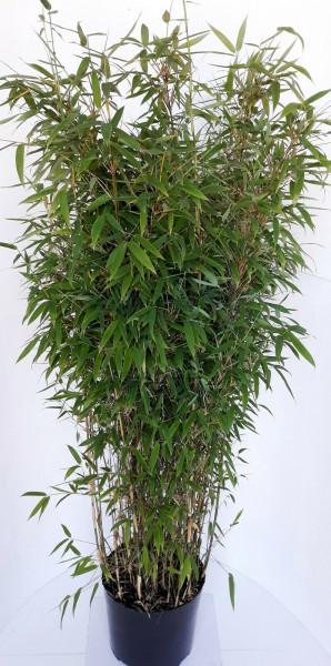 Fargesia murielae 'Jumbo' (Höhe: 140-150 cm), Gartenbambus, Schirmbambus