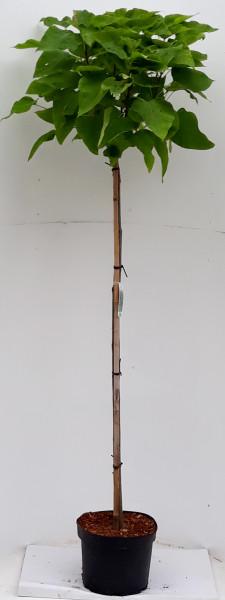Kugel-Trompetenbaum auf Stamm, Catalpa bignonioides Nana, Höhe: 250 cm (Stammhöhe: 180 cm)