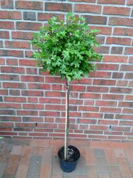 Kugel-Sumpfeiche, Quercus Green Dwarf (Höhe: 250 cm / Sth. 180 cm) + Dünger