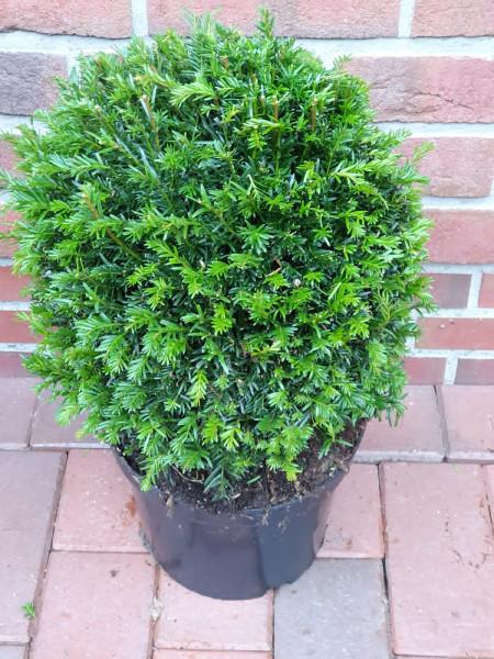 Heimische Eibe - Kugel, Taxus baccata, Durchmesser: 25-30 cm