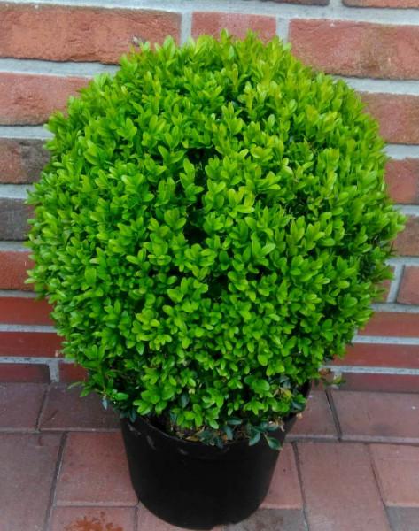 Buchsbaum-Kugel, Buxus sempervirens, Durchmesser: 35-40 cm