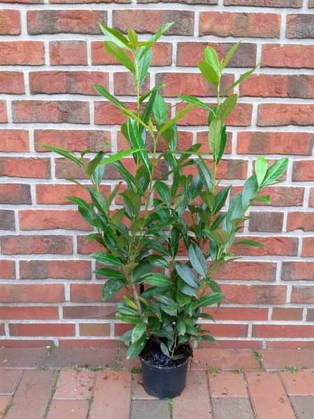 Prunus lauroc. 'Caucasica' (Höhe: 70-80 cm / Topfvolumen: 3 Liter) - großblättriger Kirschlorbeer