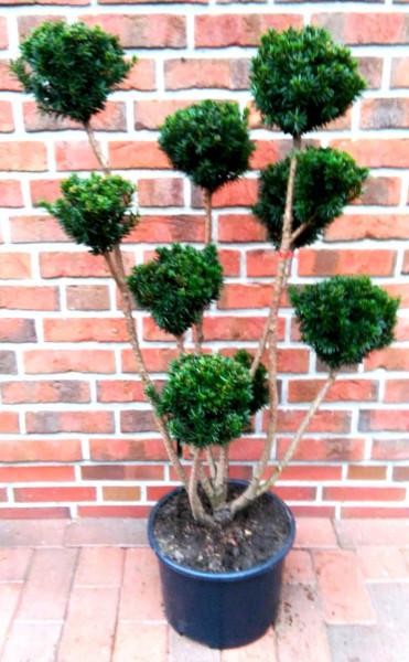Gartenbonsai, Bonsai, Taxus baccata, Formpflanze (Höhe: 110-120 cm)