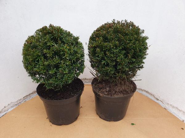 Heimische Eibe - Kugel, Taxus baccata, Durchmesser: 25-30 cm (1 Stück)