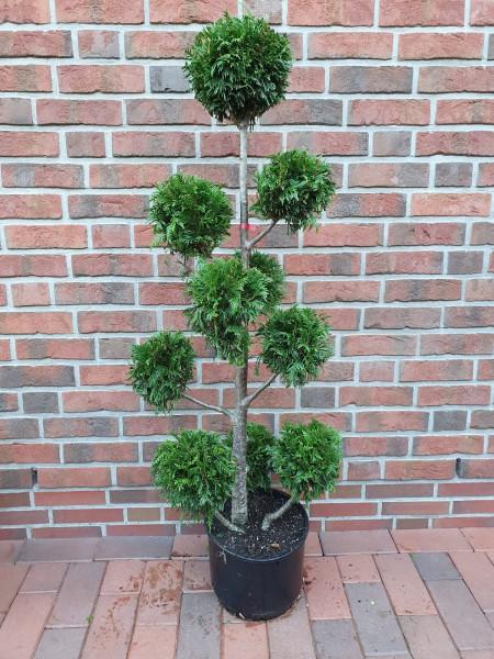 Gartenbonsai / Thuja plicata Martin, mattgrün (Gesamthöhe: 140-150 cm)