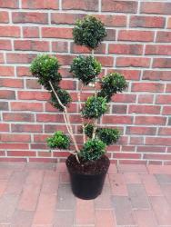 Buchsbaum - Bonsai, Buxus sempervirens