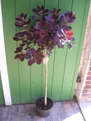 Perückenstrauch-Stämmchen (Höhe: 110-120 cm), Cotinus coggygria Roxal Purple