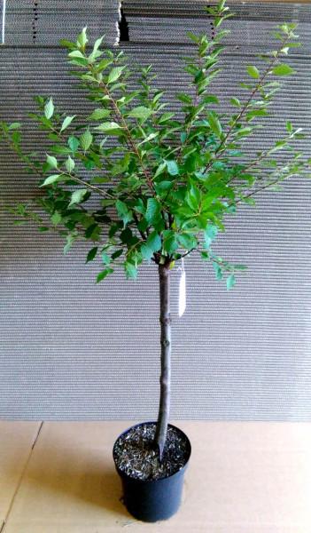 Mandelbaum, Prunus triloba, rosa Blüte, Höhe: 150-160 cm