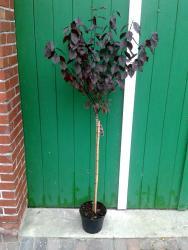 Blutpflaume auf Stamm, Prunus cerasifera Nigra, essbare Früchte
