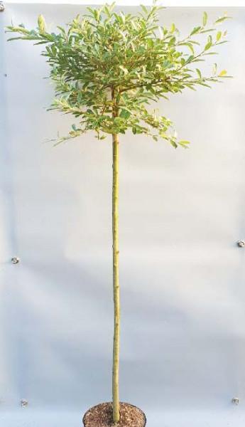 Rosa Riesen-Salweide (Höhe: 170-180 cm), Salix gracilistyla 'Mount Aso'