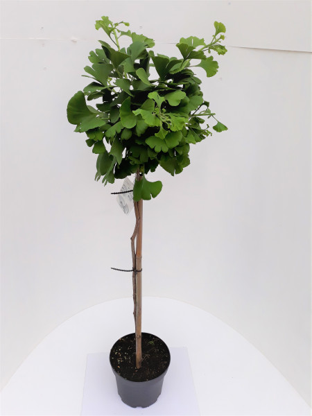 Ginkgo biloba Marieken, Kugeliger Fächerblattbaum (Höhe: 110-120 cm)