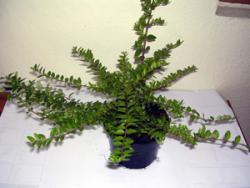 Heckenmyrthe (Höhe: 15-20 cm), Lonicera nitida Maigrün