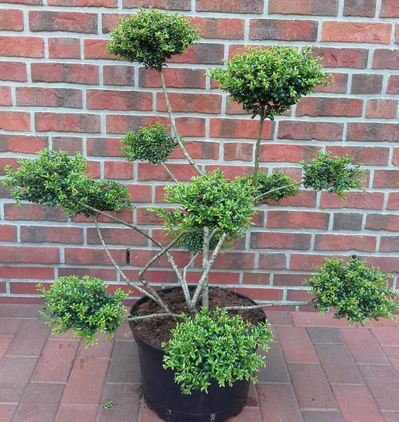 Gartenbonsai / PonPon - Ilex crenata Convexa - 110-120 cm