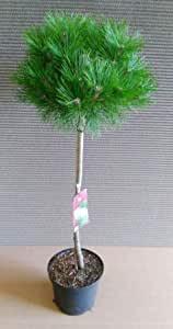 Pinus sylvestris Low Glow - Stämmchen, (Höhe: 80-90 cm) Kiefer