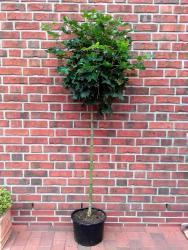 Kugelahorn - Stämmchen, Acer platanoides Globosum (Höhe: 180-190 cm)