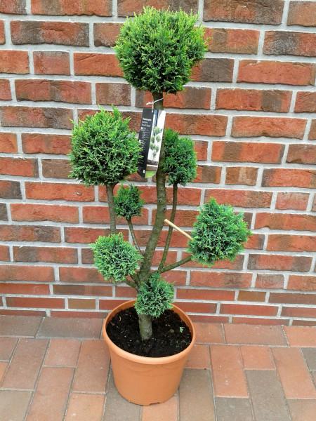 Gartenbonsai / Chamaecyparis lawsoniana Ellwoodii, grün / Gesamthöhe: 100-110 cm