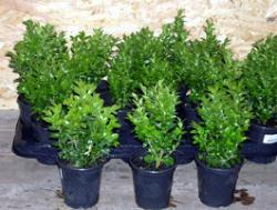 Buchsbaum - Pflanzen, Buxus sempervirens